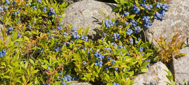 Combat Obesity With Blueberries Intake