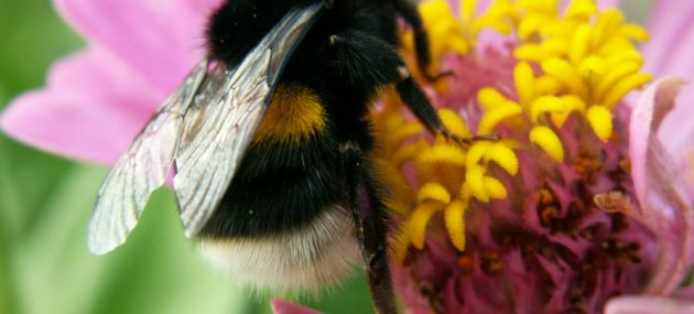 Bumblebees Boost Blueberry Yield