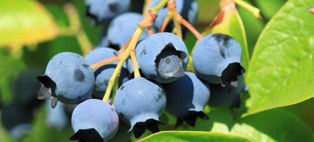 After a cold start, blueberry season is heating up in the region
