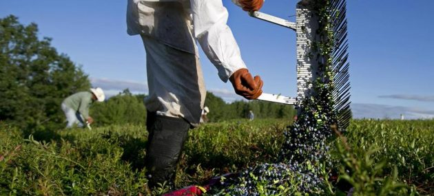 USDA again tries to help blueberry prices with $10 Million buy