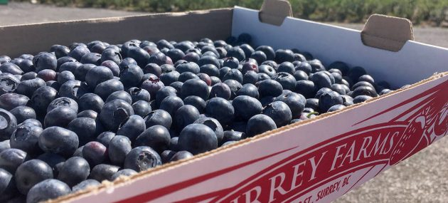 Blueberry crops not as fruitful as last year, reports Surrey Farms