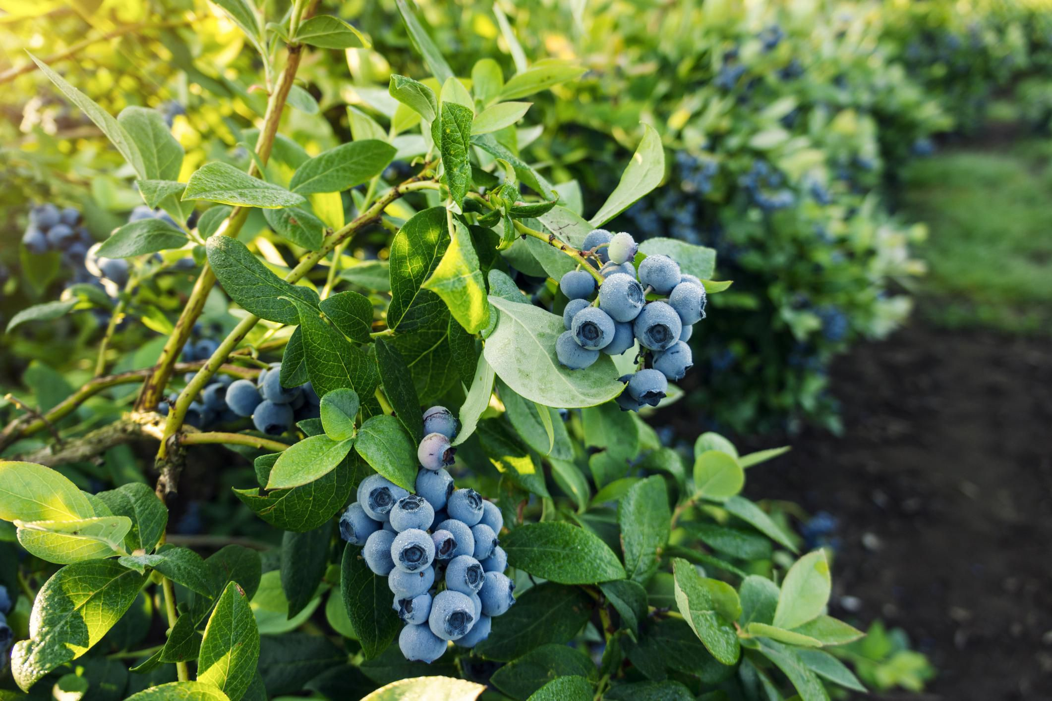 Blueberries Improve Fertility