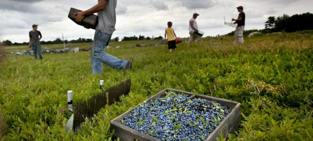 Government vague on help for blueberry producers