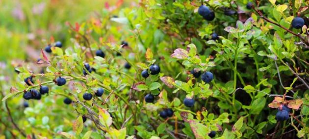 Blueberries and black tea can help your gut bacteria fight the flu
