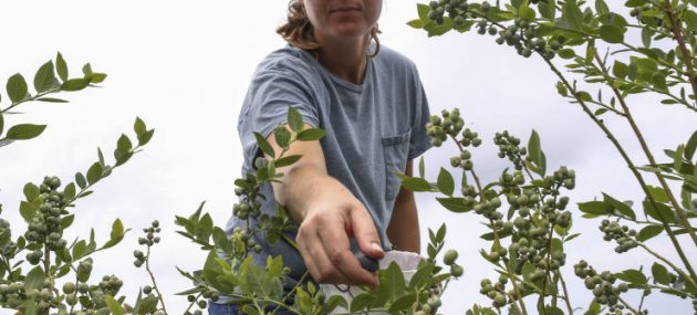 Disease puts blueberry farmers on alert!
