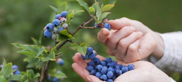 South African blueberry expansion takes industry by surprise
