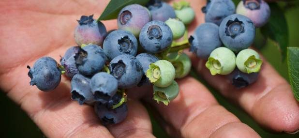 Blueberry season over earlier than usual in warm weather
