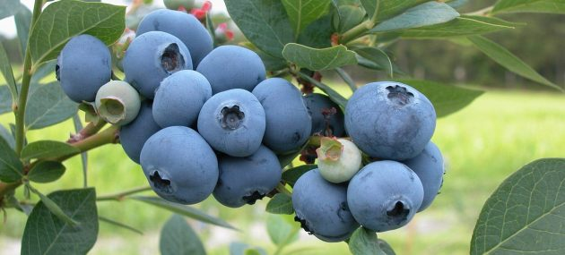 Cold weather gives blueberry crop a boost